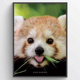 Red panda - plakat wallsticker